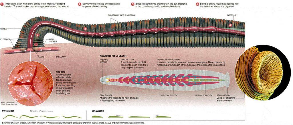 آناتومی بدن زالو ها